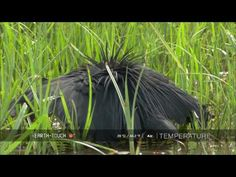 ▶ Nature's clever hunter: Egret uses 'umbrella' trick - YouTube