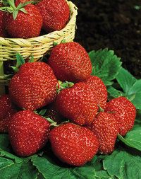 Ison's Through The Grapevine: Strawberry Plugs: How to plant and grow strawberry plugs