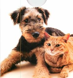 #Welsh #Terrier #Pup and Cat