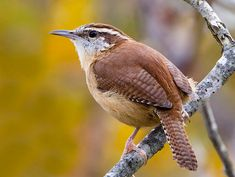 My latest visitor, the Carolina wren.  I have been trying to lure these guys out of the backyard by changing up the food in my front feeders.  Looks like the peanut suet finally did the trick.