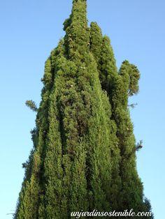 Mi Pequeño Jardín: Cupressus sempervirens - Recomendaciones para efec...