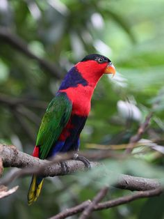 Black-capped Lory -Lorius lory The Black Capped Lory, scientifically namedLorius lory(Psittaciformes - Psittaculidae),is a medium sized ...