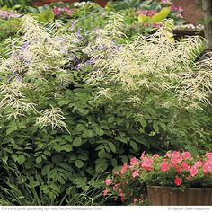 Goat's beard has beautiful blooms that add texture and height. Find out how to grow plants that look their best.