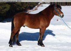 Finnhorse - stallion Perukan Mohikaani