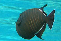 Fisch: Schwarzer Drückerfisch (Melichthys niger) | Fischlexikon Fish Art, Zine, Pets, Types Of Fish, Black Man, Fish
