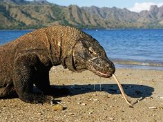 Komodo National Park is the last sanctuary for the endemic Komodo dragon, native only to Indonesia. Largest of all lizards, it can reach a fearsome ten feet (three meters) in length. Indonesia http://travel.nationalgeographic.com/travel/countries/indonesia-photos/#/komodo-dragon_6771_600x450.jpg