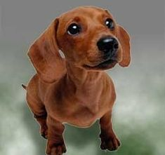 dachshunds. things-i-love