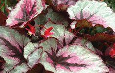 Planting Tips for Begonia Tuberous Mix Online Plant Nursery, Lavender Leaves, Plant Breeding, Very Cold, Heuchera, Bulb Flowers, Shade Plants, Geraniums, T Rex