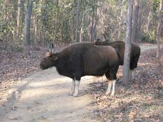 THE GREAT INDIAN BISON | Flickr - Photo Sharing!