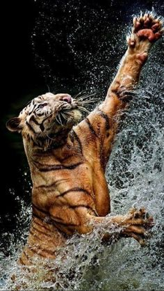 tiger in river
