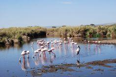 Flamingos in Serengeti National Park, Tanzania