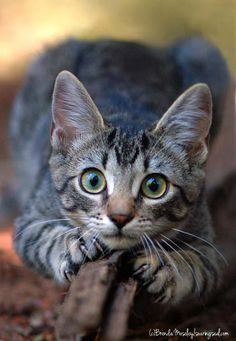 It's common to talk about tabbies as if they represent a cat breed. In fact, the word tabby denotes a coat pattern. Excellent What It Means to Be a Tabby Cat Ideas. Cute Cats And Kittens, Cool Cats, Kittens Cutest, Tabby Kittens, Baby Animals, Funny Animals, Cute Animals, Funniest Animals, Funny Horses