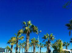 Barcelona is full of beautiful #Palms ...