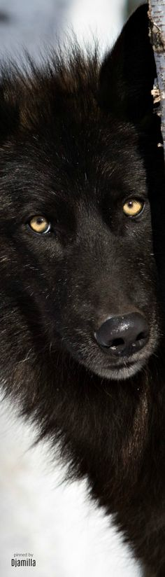 Black Wolf, really great close up animal photography