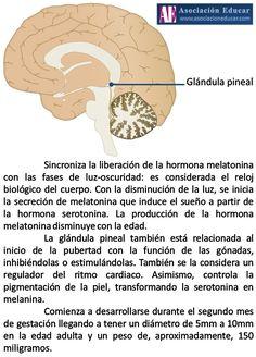 Infografía Neurociencias: Glándula pineal o epífisis.   Asociación Educar