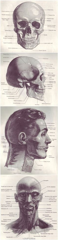 Anatomy Reference, male skull head and muscles…