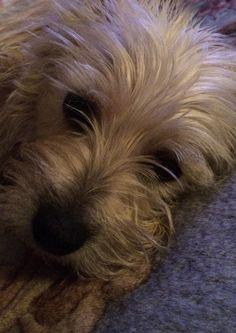 Sweet Cairn face- this isn't Buddy but it looks like him! Cairn Terrier Puppies, Terrier Mix, Animals And Pets, Cute Animals, Norwich Terrier, Jack Russell Terrier, Westies, Little Dogs, Yorkshire Terrier