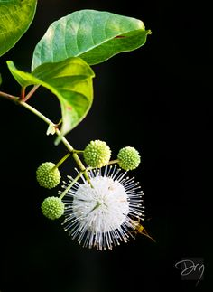 """(O))) Button Bush. Another """"Dr. Suess"""" flower."""