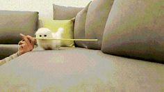 Showjumping kitten
