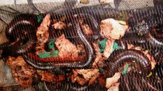 Giant live millipedes seized at San Francisco airport-Yahoo News