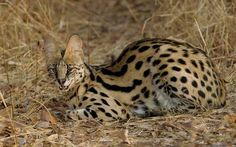 The Serval Cat - cubs, animals, big cats, cats, kittens, nature