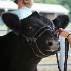 Which show cattle feed should you choose if you want to raise a champion? Get show cattle feeding advice from Ambassadors Kirk Stierwalt and Bob May. Miniature Cow Breeds, Miniature Cows, Show Cattle Barn, Farm Animals, Cute Animals, Cow Feed, Show Steers, Show Cows, Raising Cattle