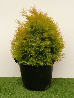 H = 80 W = 70 A = 10 years Tree Specialist, Thuja Occidentalis, Conifer Trees, Lush Garden, 10 Years, Gardens, Herbs, Outdoor Gardens, Herb