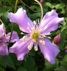Clematis montana Continuity. Can flower right up until October. When buying, look for multi-stem plants if possible.