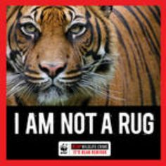 Stop the killing of endangered animals, less than 5000 tigers left on planet earth, STOP THE MADNESS!!!