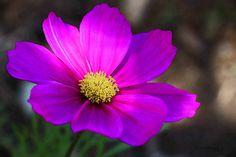 Sonata Carmine / Cosmos bipinnatus flower / April 2015 https://www.facebook.com/goodallphoto