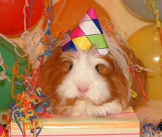 happy birthday guinea pig images - Google Search