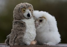 In his five short weeks of life, Orbit hasn't met many other owls. So he isn't at all worried that his new best friend doesn't hoot back. The orphaned chick is perfectly content in the company of the stuffed bird perched next to him and is never far from his side.  Orbit, a common barn owl, was given the toy by Lyndsey Wood, his carer at Folly Farm, near Narberth in West Wales. She said: 'A friend suggested that I find something like a toy owl to stop Orbit feeling lonely. 'I thought he…