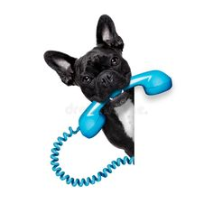 Photo about French bulldog dog holding a old retro telephone behind a blank empty banner or placard,isolated on white background. Animals And Pets, Funny Animals, Cute Animals, Pet Shop, Cocker Spaniel, Dog Phone, Pet Clinic, Dog Crafts, Dog Park