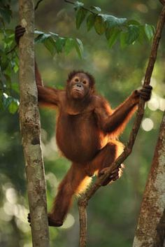 The best gift you can give, is Life and Freedom! Help save the Orangutans, rehabilitate them, release them and keep them safe.