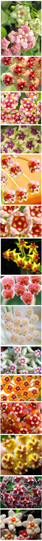 Hoya sp. Flowers details