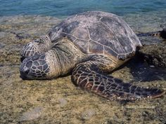 Green Sea Turtle (Chelonia mydas), basking at Puako, Hawaii - photo by B N Sullivan for TheRightBlue.com