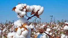 Image result for cotton harvest