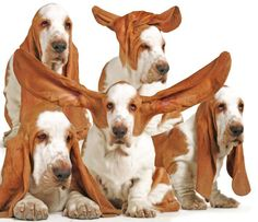 """Louis Grizzard, a columnist in the south once wrote, """"for the owners of basset hounds...no matter how bad you feel, your basset hound always looks worse""""."""