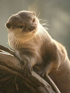 The otter is a carnivorous freshwater or marine mammal which is part of the Mustelidae family which includes weasels, martens, and badgers. Cute Otter, Otters Cute, Otter Love, Baby Otters, Animals And Pets, Baby Animals, Baby Giraffes, Wild Animals, Significant Otter
