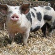 Meine kleine Farm: was halten Sie davon, dem Schwein, das sie gerade verzehren, ins Gesicht zu schauen? Mit dieser leicht radikal anmutenden Idee hat Dennis Buchmann in den vergangenen Monaten Furore gemacht.