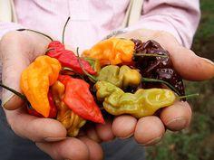 Lightning Mix Hot Pepper | Baker Creek Heirloom Seed Co 2016