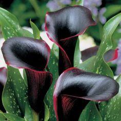 Black Pearl Calla Lily