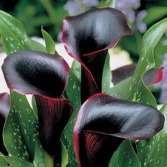 Black Pearl Calla Lily; wow and a racy red edge too.