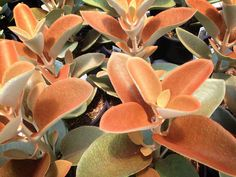 Kalanchoe orgyalis 'Copper Spoons'