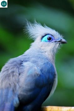 https://www.facebook.com/WonderBirdSpecies/ Crested coua (Coua cristata); Madagasca; IUCN Red List of Threatened Species 3.1 : Least Concern (LC)(Loài ít quan tâm) || Chim Coua mào; Họ Cu cu-Cuculidae (Cuckoo); Loài đặc hữu Madagasca.