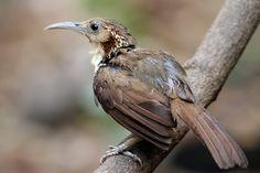 a403 20110310 Kaeng Krachan Baan Maka\03 Birds\114+ Large Scimitar-babbler 长嘴钩嘴鹛 นกระวังไพรปากยาว