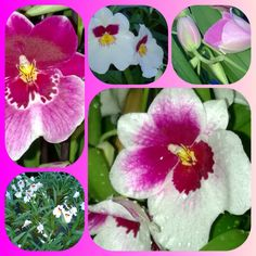 #miltonia #flower of #spring at #enricoorchidee ! Why don't you come and discover it? #albenga #riviera #orchid #orchids #orchidee #orchidees