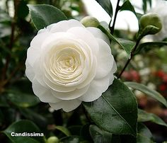 Camellia japonica 'Candidissima' (imported from Japan to Europe in 1829)