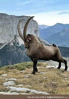 Cabra Montés- Cabra Montés Regal Ibex – The King of the Mountain - Unusual Animals, Majestic Animals, Rare Animals, Animals Beautiful, Animals And Pets, Funny Animals, Beautiful Creatures, Strange Animals, Cutest Animals