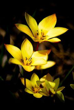 little yellow flowers | by raspberrytart